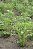 De bovenkanten van de aardappel stock foto