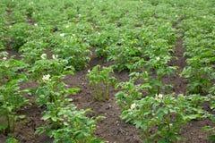 De bovenkanten van de aardappel stock foto's