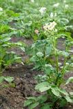 De bovenkanten van de aardappel royalty-vrije stock afbeelding