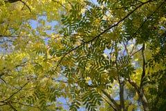 De bovenkanten van de de herfstboom met geelgroene bladeren op de achtergrond van blauwe hemel stock fotografie