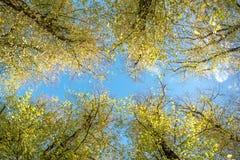 De bovenkanten van lindebomen royalty-vrije stock foto