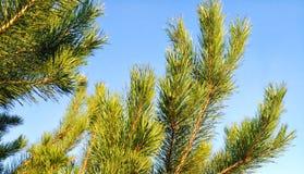 De bovenkanten van pijnboom vertakt zich blauwe achtergrond Stock Afbeeldingen