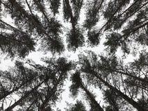 De bovenkanten van de pijnboomboom in grijze de winterhemel Stock Foto's