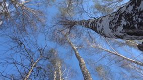 De bovenkanten van de slingering van berkbomen van de wind in de vroege lente, bladeren beginnen te bloeien stock video