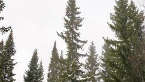 De bovenkanten van sparren in de winter bewolkt weer stock footage