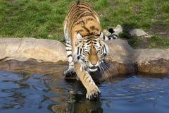 De boze Amur-tijger, altaica van Panthera Tigris, het slaan handtastelijk wordt in het water stock afbeelding