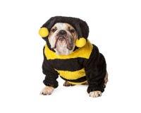 De boze Buldog stuntelt binnen Bijenkostuum stock afbeelding