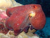 De boze Octopus Stock Foto's