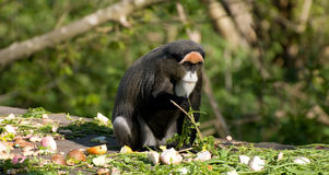 De Braaza Monkey Stock Images