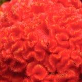 ` de Brain Flower do ` fotografia de stock