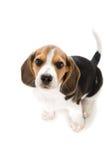 De Brak van het puppy Stock Afbeeldingen