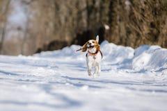 De brakhond loopt en speelt in het de winterbos op een Zonnige ijzige dag royalty-vrije stock afbeelding