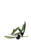 De branche d'olivier toujours durée images stock
