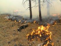 De brandende Naalden van de Pijnboom Royalty-vrije Stock Fotografie