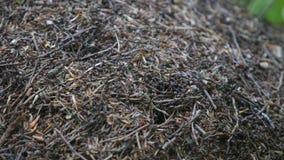 De Brandmieren die van het mierennest op de mierenheuvel kruipen in het hout stock afbeeldingen