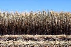 De brandwond van de suikerrietaanplanting, Suikerriet, Suikerrietgebied wordt gebrand voor het oogsten, Achtergrondbeeld van het  stock afbeelding