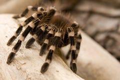 De Braziliaanse Witte Tarantula van de Knie Stock Fotografie