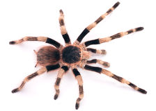 De Braziliaanse Zwart-witte Tarantula Stock Afbeeldingen