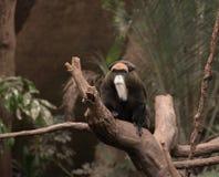 De Brazza Monkey Lizenzfreie Stockbilder