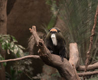 A De Brazza Monkey royalty free stock images