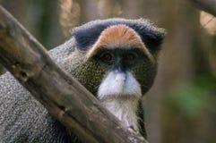 De Brazza ` s małpa Fotografia Stock