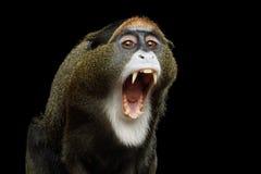De Brazza ` s małpa Zdjęcia Royalty Free