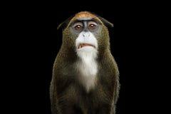 De Brazza ` s małpa Zdjęcie Stock
