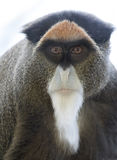 De Brazza's Monkey Royalty Free Stock Photo