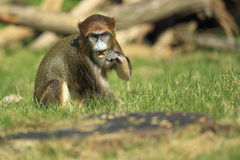 De Brazza's monkey Stock Photos