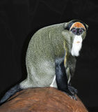 De Brazza's Monkey. Sitting with black ground Stock Photo