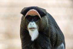De Brazza`s Monkey, an attractive primate with distinctive fur stock image