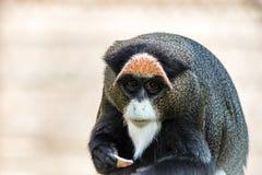 De Brazza`s Monkey, an attractive primate with distinctive fur stock photo