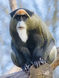 De Brazza`s monkey. Cercopithecus neglectus sitting on a tree royalty free stock photography