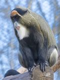 De Brazza`s monkey stock photo