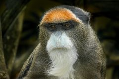 The De Brazza`s monkey, an Old World monkey endemic to the wetlands of central Africa. stock photography