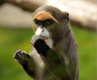 De brazzas monkey Stock Image