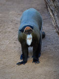 De Brazzas monkey Cercopithecus neglectus Stock Photos