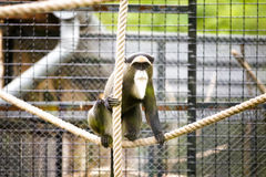 De Brazzas monkey Royalty Free Stock Photos