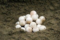 De brekende Eieren van de Schildpad (serpentina Chelydra) Royalty-vrije Stock Fotografie