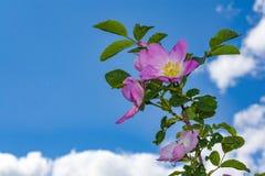 De Briarbloemen, a-struik van een tot bloei komende hond namen toe Royalty-vrije Stock Foto's