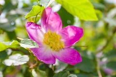 De Briarbloemen, a-struik van een tot bloei komende hond namen toe Stock Afbeeldingen