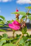 De Briarbloemen, a-struik van een tot bloei komende hond namen toe Royalty-vrije Stock Afbeeldingen