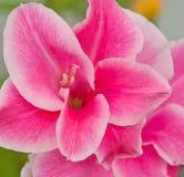 De briljante roze bloem van Gladiolen Royalty-vrije Stock Afbeelding