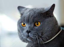 De Britse blauwe kat bij kat toont Stock Foto's