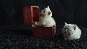 De Britse lilac katjes van Shorthair in een houten doos, koffer stock videobeelden
