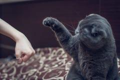 De Britse Shorthair-kat begroet poot met een menselijke hand stock fotografie