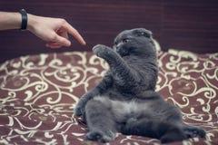 De Britse Shorthair-kat begroet poot met een menselijke hand stock afbeelding