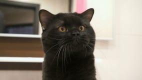 De Britse zwarte kat met oranje ogen jaagt zijn poot voor de camera stock video