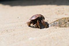 De bruinachtig-rode Krab, sluit met rots en zand stock afbeelding