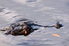 De bruine Alligator van het Oog Stock Foto's